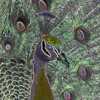 digital image, representation of a peacock head