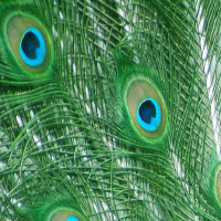 Digital image close up of peacock feather